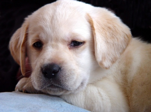 Adorable yellow labrador puppy