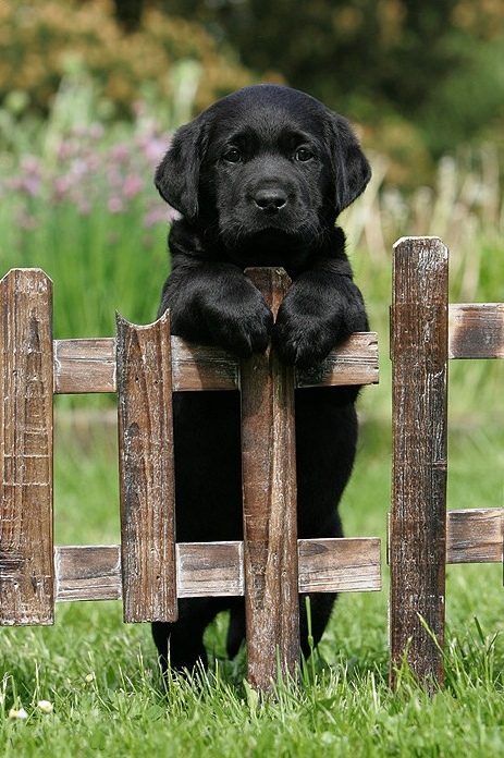 Adorable black labrador puppy