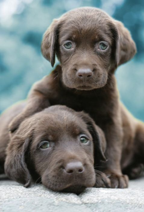 Adorable chocolate labrador puppies