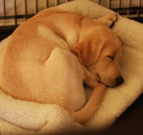 Labrador retriever pup
